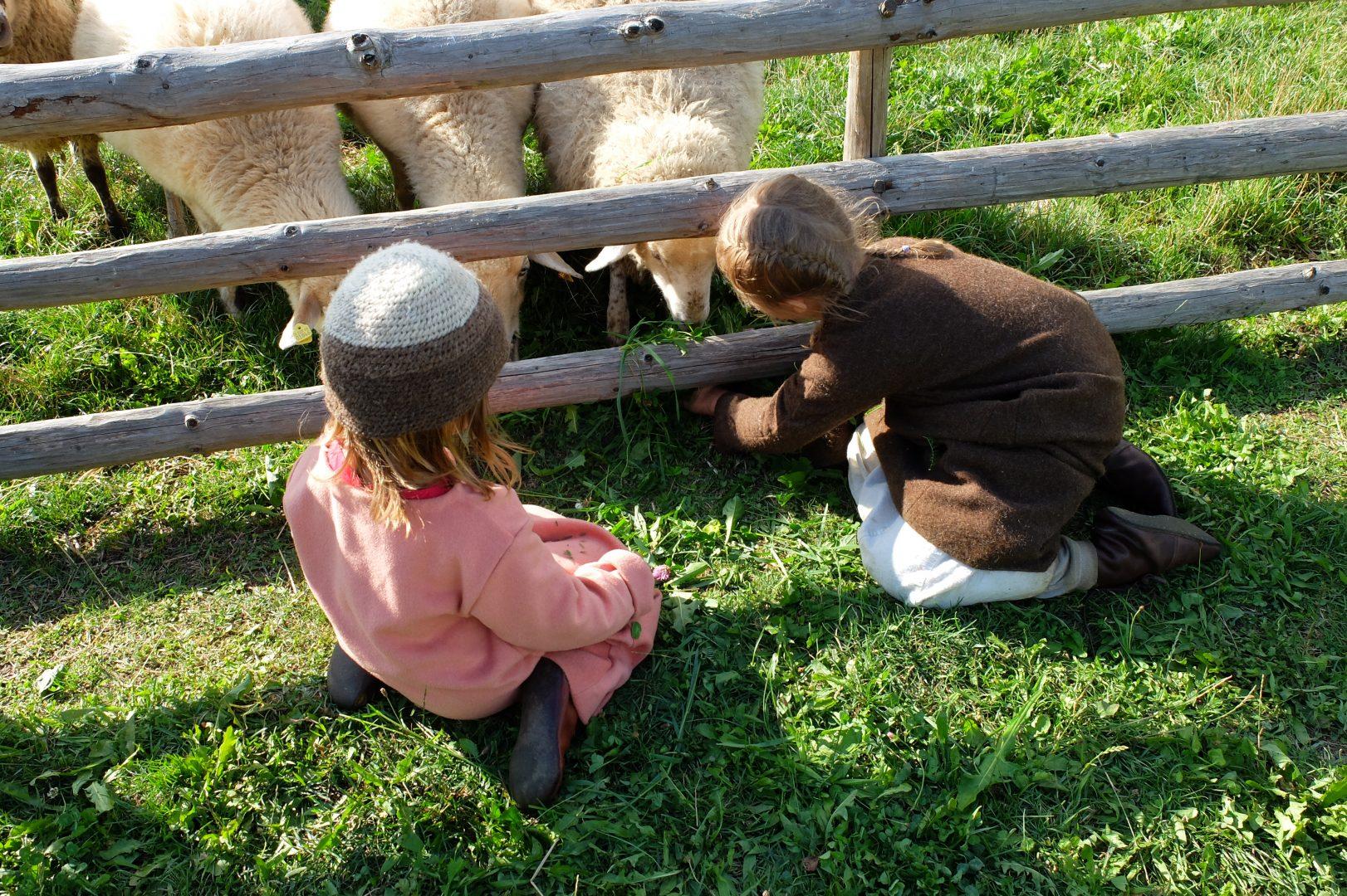 Schafe füttern.